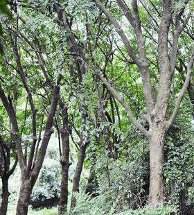 半个多世纪的橡胶林成为科普教育的样本