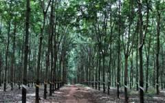 2021年前4个月柬埔寨橡胶出口量下跌15%收入增加2.5%